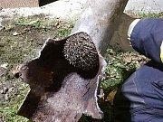 Hasiči v Žamberku zachraňovali ježky uvízlé v trubce.