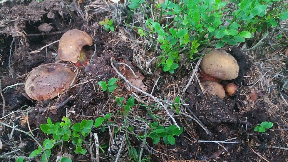 Teplé počasí okořeněné deštěm přeje houbám. Se svým prvním letošním houbovým úlovkem z okolí Žamberka se pochlubil Luboš Stoklasa. Pochlubte se i vy. Fotky posílejte na iva.janouskova@denik.cz.