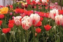 Otevření pracovního trhu v Nizozemsku znamená, že o chloubu a národní květinu Nizozemců se budou v budoucnu starat i šikovné české ruce.