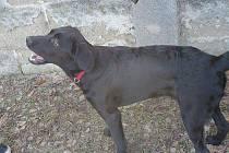 Ztracený kříženec labradora jménem Cony.
