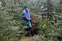 Pracovníci vyřezávají vánoční stromky na plantáži v Nekoři na Orlickoústecku.