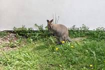 Klokan rudokrký v letohradském zámeckém parku.