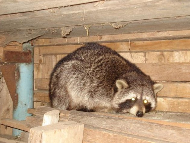 Hasiče potrápili medvídek mýval a pejsek