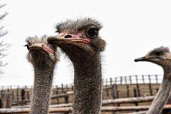 CHOVU PŠTROSŮ se věnuje Ladislav Pražan s manželkou Vendulou už patnáct let. Dnes mají na své farmě šedesát exotických ptáků.  Foto: Deník/ Iveta Nádvorníková