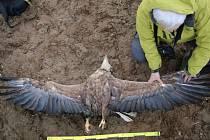 Nález uhynulého orla mořského v Bošíně.