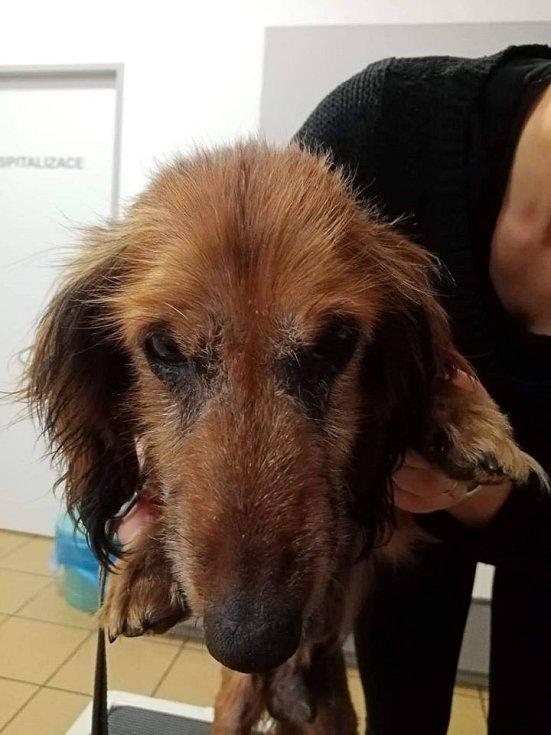 Jezevčík Bohoušek při příjmu na veterinární kliniku.