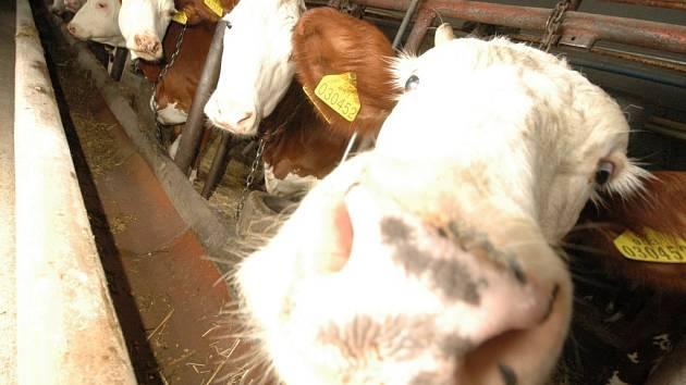 Krávy z chovu  ZOD Zálší ve Slatině