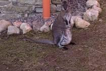 Klokanice Růženka v letohradském zámeckém parku ukrývá ve vaku mládě.