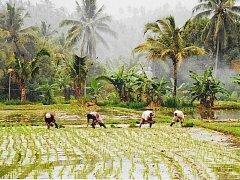 Sázení rýže na Bali.