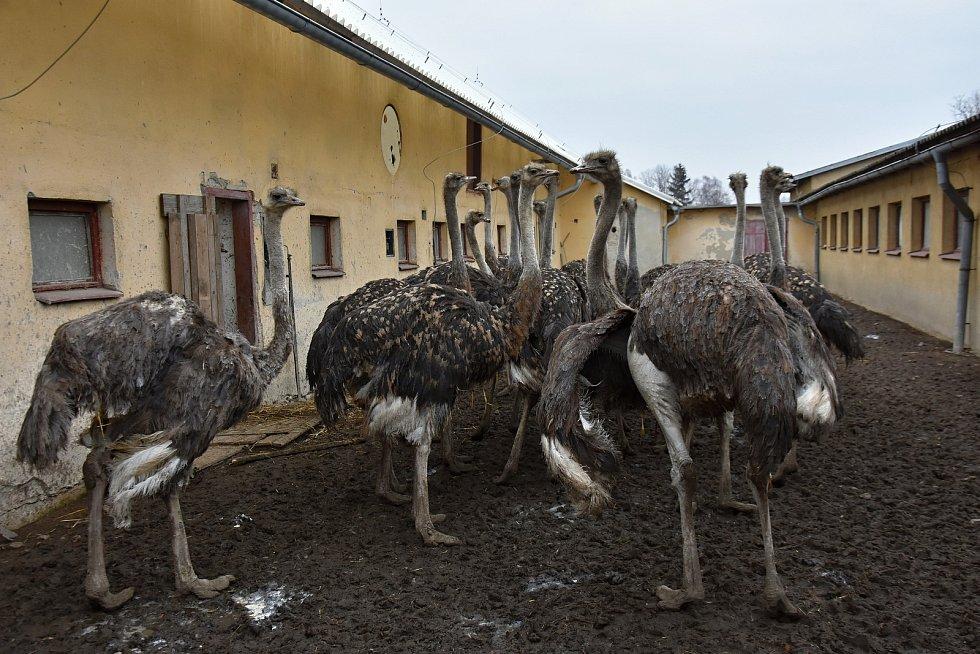 CHOVU PŠTROSŮ se věnuje Ladislav Pražan s manželkou Vendulou už patnáct let. Dnes mají na své farmě šedesát exotických ptáků.