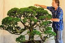Bonsaj jalovce čínského z liberecké Botanické zahrady.