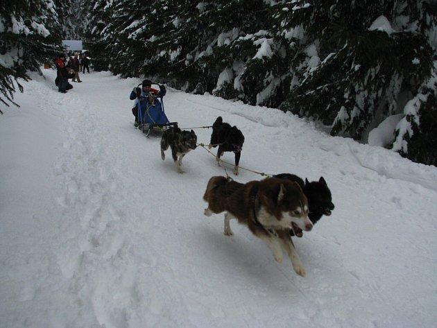 Kolem Bukové hory jela psí spřežení.