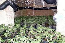 """Pěstírna marihuany v Cholticích byla zatím letošní největší objevenou """"plantáží"""" na Pardubicku."""