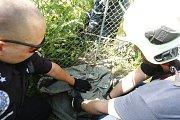 Mladý divočák uvázl pod plotem. Zvíře se přitom bohužel vážně zranilo.