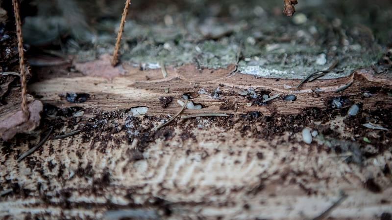 Ještě 14 dní a z larev kůrovce by se vylíhl brouk a rozlétl by se do lesa na další stromy. Lapák proto lesníci co nejdříve z lesa odstraní.