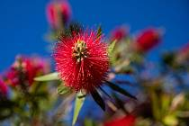 Květiny na chorvatském ostrově Vir.