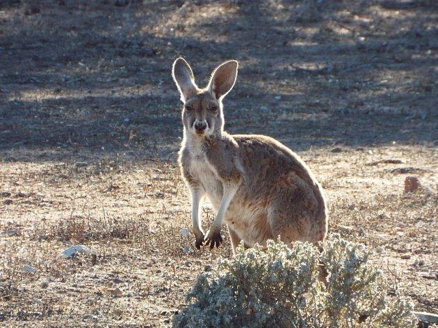 Hopkající symbol Austrálie.