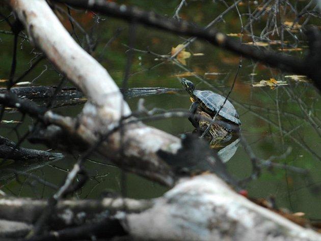 Sladkovodní želva je pravidelně k vidění na Matičním jezeru v Pardubicích