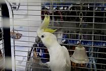 Hrdina. Papoušek Albert čelil zlodějům sám. Pokladnu sice neuhájil, ale třeba aspoň dá policistům popis pachatele. Umí totiž mluvit