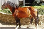 Norický kůň 1445 Streit Hřebec, hnědák, nar. 2007 Vítěz zkoušek výkonnosti (2009)