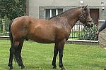 Huculský kůň Haidar Hřebec, hnědák, nar. 2007 Vicešampión kategorie hřebců juniorů v mezinárodním šampionátu (Slovensko, 2008)