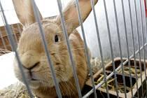 Chovatelská výstava králíků masných plemen v Holicích