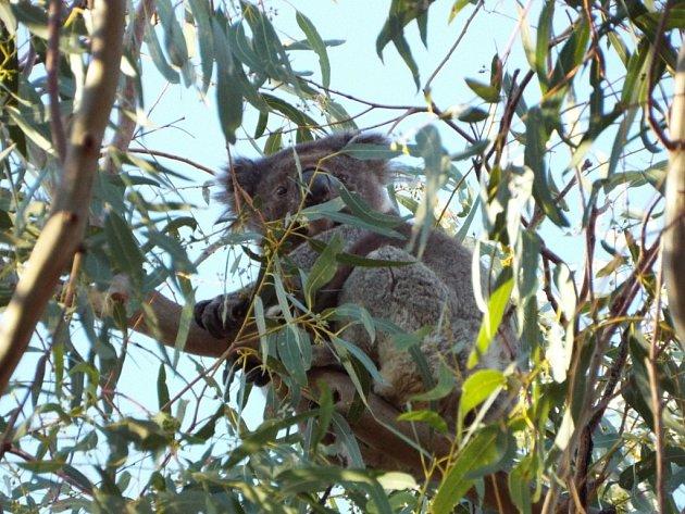 Medvídek Koala. Je těžké je najít, ale podařilo se.