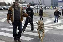 Tygřice Tajga na procházce