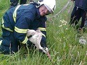 Máme ho. Zraněný čáp vodil své zachránce po poli dvě hodiny, než se nechal odchytit.