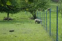 A nedá si říct a nedá. Ovci zaseknutou v plotě prý její majitel z podobné situace dostával její majitel několikrát.