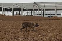 Utečenec - fena Kavkazského pasteveckého psa