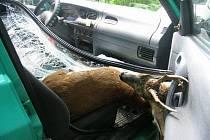 Sražený srnec proletěl čelním sklem na sedadlo spolujezdce