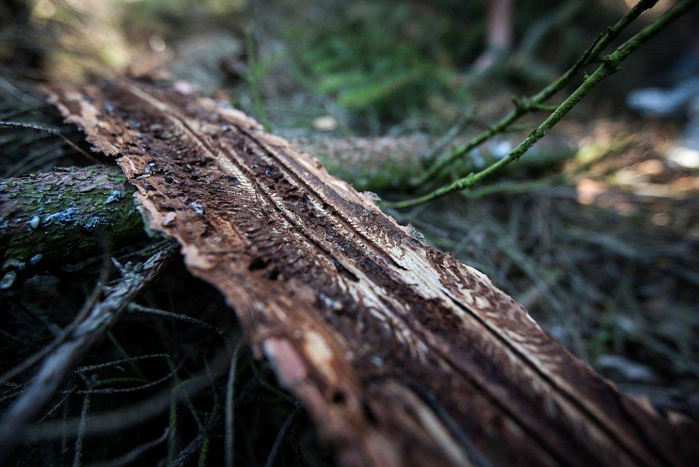 Takto vypadá kůra silně napadeného stromu, který lesníci využívají jako takzvaný lapák.