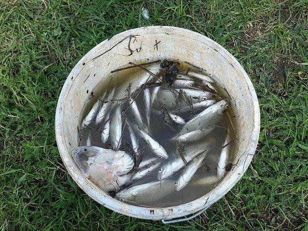 Uhynulé ryby v rybníku u Trnávky.