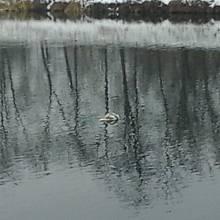 """Jak se budí """"mrtvé"""" labutě v Pardubicích. Údajně mrtvá labuť na Labi..."""