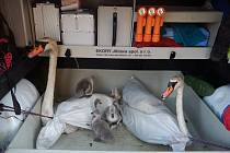 Na labutí rodinku na Labi museli nastoupit záchranáři. Své teritorium labuťák bránil velmi zuřivě.