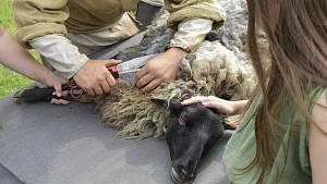 I ovce musí ke kadeřníkovi. V Nasavrkách je stříhají Keltové