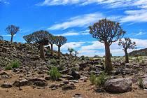 Aloe rozsochatá, Namibie.