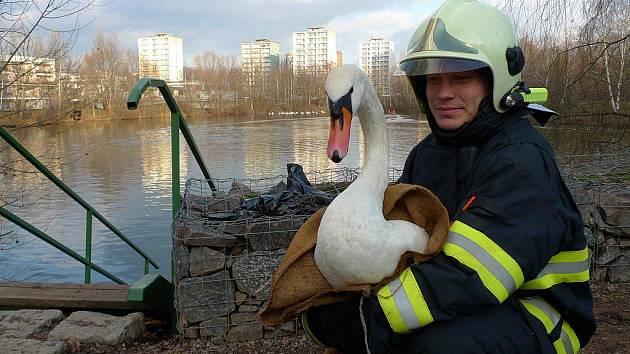 Z vodní nádrže pomáhali dostat přiotrávené labutě i hasiči