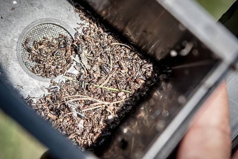 Sběrná nádobka lapače obsahuje asi 600 brouků. To je běžný lesní průměr. Tito už ale stromy nenapadnou, čeká je zalití horkou vodou.