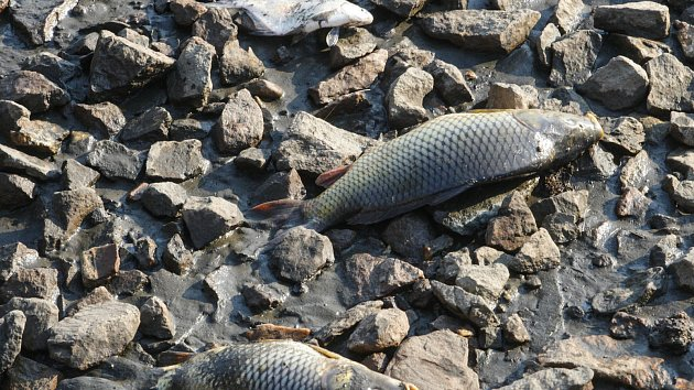 Kapři v rybníku Buňkov na Přeloučsku jsou nakaženi onemocněním zvaným KOIHERPESVIRÓZA a dochází k jejich úhynu. Virem se mohou nakazit pouze kapři a koi kapři, jiné ryby ne. Rybáři ale musí usmrtit i jiné ryby, aby nákazu nepřenášely. Týká se celkem zhrub