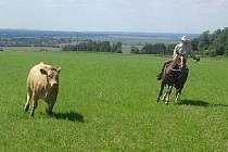 Uprchlé jalovice naháněli jezdci na koních