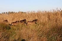 Osm divokých koní přijelo z Milovic.