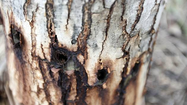 Navrtaný strom. Ilustrační foto.