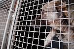 Fenku, kterou odchytili pardubičtí strážníci v Ostřešanech, někdo vyhodil z auta. Vystresované a hladové zvíře se nakonec i přes očividný strach nechalo odchytit a odvézt do útulku