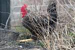 Laboratorní vyšetření potvrdilo čtvrté letošní ohnisko ptačí chřipky v chovu drůbeže na Strakonicku. Ilustrační foto.