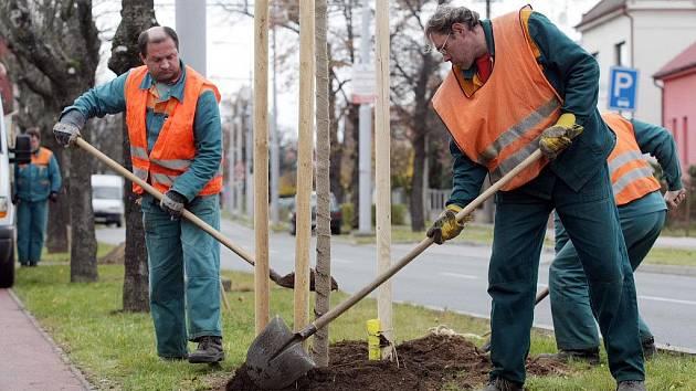 Lípy, javory či jasany. Plánované sázení stromů v ulicích Žďáru komplikují sítě