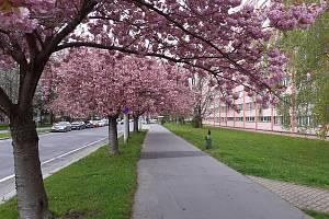Nádherně rozkvetlé aleje růžových sakur v těchto dnech zdobí ulice v Pardubicích.