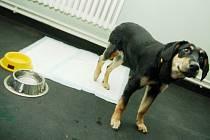Týraný a zraněný pes je po operaci. Než se mu noha zahojí, bude ale potřebovat až tři měsíce a pravidelnou péči.