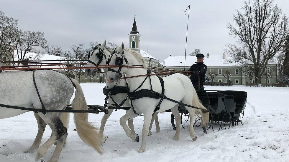 Šest starokladrubských běloušů táhlo historické sáně z přelomu 19. a 20. století.